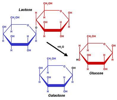 Figura 7. Representação simplificada da molécula da lactose e a consequente hidrólise dando resultado aos monossacarideos Glicose e Galactose.