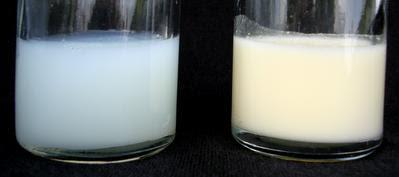 Figura 1- Amostras de leite humano: à esquerda leite inicial com baixa concentração de gordura e à direita leite maduro com elevada concentração de gordura.