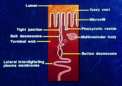 Figura 21. Representação esquemática dos mecanismos celulares de proteção da mucosa intestinal.