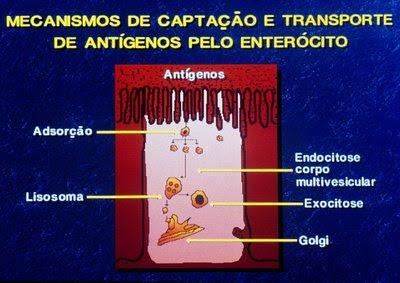Figura 22. Representação esquemática do processo de degradação antigênica intracelular.