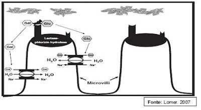 Figura 5- Desenho esquemático da hidrólise da Lactose pela Lactase no polo apical das microvilosidades do enterócito.