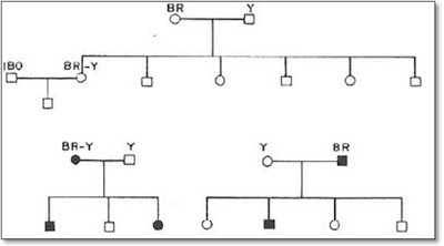 Figura 7- Representação esquemática da resultante do cruzamento entre absorvedores e não absorvedores à lactose. Na parte alta da figura quando ambos os pais eram não absorvedores resultou em uma progênie de não absorvedores; na parte baixa quando um dos pais (em negro) eram absorvedores a progênie resultou mista.