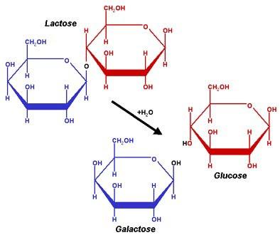 Figura 7- Representação esquemática da fórmula da Lactose e do produto da sua hidrólise pela Lactase: os monossacarídeos Glicose e Galactose.