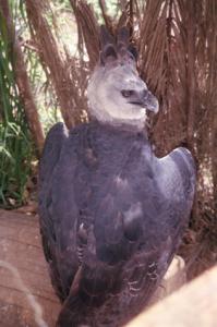 Figura 3a - Exemplo típico da fauna xinguana preservada fazendo parte integrante da própria comunidade