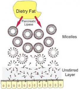 Figura 11- Representação esquemática do processo de digestão das gorduras da dieta.