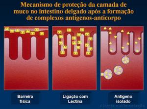 Figura 2- Desenho esquemático da distribuição do muco na superfície do enterócito.