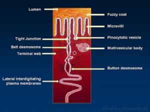 Figura 4- Desenho esquemático da barreira de permeabilidade interposta pelo poro intercelular, pela junção firme e pelos desmosomas.