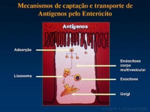 Figura 7- Desenho esquemático do processo de endocitose e o estímulo de produção de lisosomas pelo complexo de Golgi com a respectiva formação do corpo mulivescular.