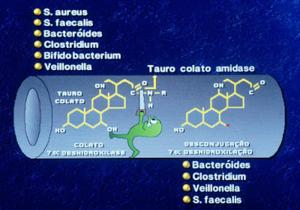 Figura 22- Representação esquemática da ação das bactérias anaeróbias sobre os sais biliares primários causando 7 alfa desidroxilação e desconjugação, transformando-os em sais biliares secundários.