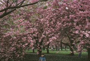 Figura 14- Uly e as cerejeiras em flor no jardim japonês do jardim Botânico do Broolkyn. Elas florescem apenas uma vez ao ano e a floração dura apenas 15 dias.