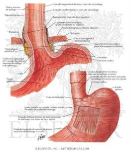 Figura 1- Anatomia da junção esôfago-gástrica.